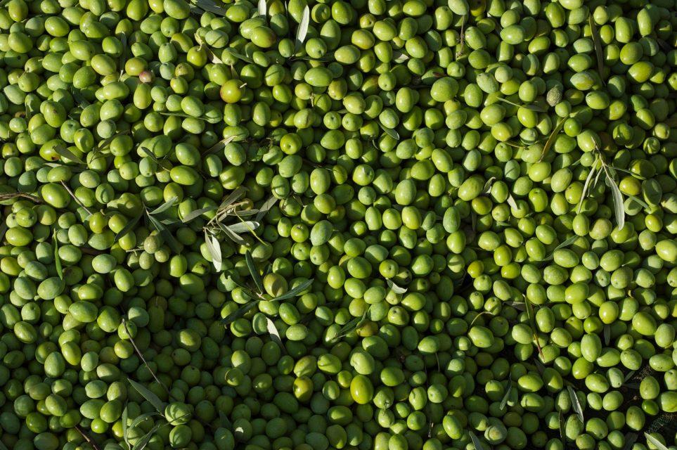 Fotografia di olive adatte per essere conservate in salamoia