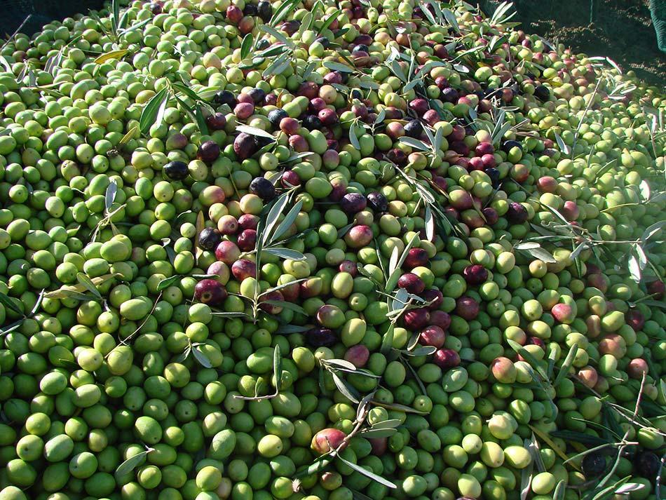 foto di olive appena raccolte